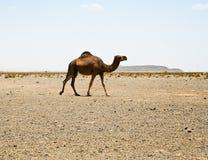 Camel in Sahara in Morocco. The Camel in Sahara. Morocco Stock Photo
