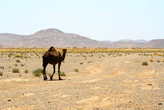 Camel in Sahara in Morocco Royalty Free Stock Photo