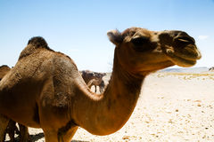 Camel in Sahara in Morocco Royalty Free Stock Images