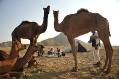 Camel for sale Stock Photography