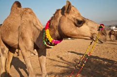 Camel for sale Royalty Free Stock Photo