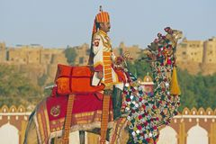 Camel Salute At The Jaisalmer Desert Festival. Uniformed officer in brightly coloured uniform riding a camel in front of Jaisalmer Fort during the Desert Royalty Free Stock Images
