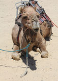 Camel in the Sand Stock Image