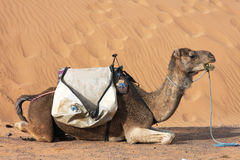 Camel in the sand Royalty Free Stock Image