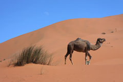 Camel in the sand Stock Photos