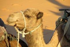 Camel in sand desert Stock Images