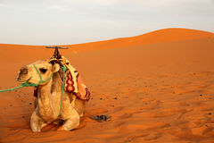 Camel in the sand dunes Stock Images