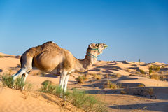 Camel in the Sand dunes desert of Sahara Stock Photography