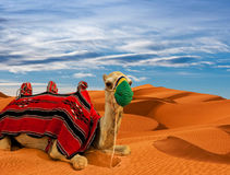 Camel on sand dunes in the desert Stock Image