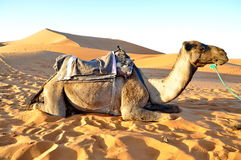 Camel in the sand Royalty Free Stock Photo