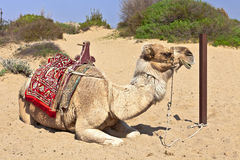 Camel in the sand. Royalty Free Stock Image