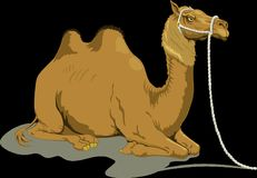 Camel, Sand, Two, Humps, Resting Royalty Free Stock Image
