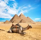 Camel in sandy desert. Camels in sandy desert near pyramids at day royalty free stock images