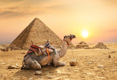 Camel in sandy desert. Near mountains at sunset royalty free stock photos