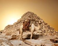 Camel in sandy desert. Near mountains at sunset Stock Photos