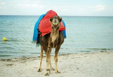 Camel on the sandy shores of the Mediterranean sea royalty free stock photo