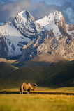 Camel beside Sary-Beles. Mountains in Kirgizstan Stock Images