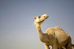 Camel in sede boker desert Royalty Free Stock Photo