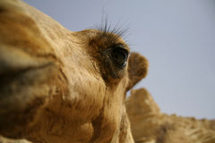 Camel in sede boker desert Royalty Free Stock Photography