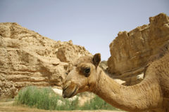 Camel in sede boker desert Stock Image