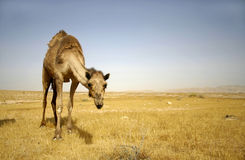 Camel in sede boker desert Royalty Free Stock Photo