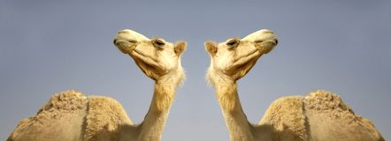 Camel in sede boker desert Royalty Free Stock Photos