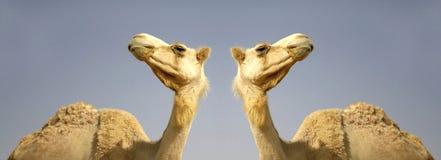 Camel in sede boker desert Royalty Free Stock Photos