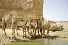 Camel in sede boker desert Royalty Free Stock Image