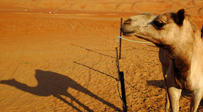 Camel and shadow Stock Photos