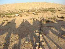 Camel shadows in a caravan in the desert. Royalty Free Stock Images