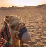 Camel in Sharjah, UAE at sunset with camels in background royalty free stock photos