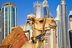 Camel ``Ship of the desert` on the background of modern tall buildings. It`s large animals, adapted for life in arid regions. Camel `Ship of the desert` on the royalty free stock photos