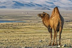 Camel - `Ship of the desert`. It`s large animals, adapted for life in arid regions of the world - deserts, semi-deserts. Camel Camelus - `Ship of the desert`. It stock photos