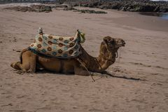 Camel on the shore of the Ocean, Morocco royalty free stock images