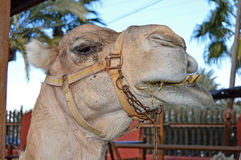 Camel Showing Its Teeth Stock Photo