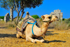 Camel in Side, Turkey. Camel on the background of the blue sky. Side, Turkey Stock Image