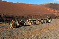 Camel Sightseeing Stock Image