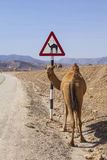 Camel sign Royalty Free Stock Photo
