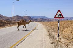 Camel sign. Road sign and camel in Dhofar, Oman Royalty Free Stock Photos
