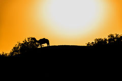 Camel silhouette in the burning sun Royalty Free Stock Photography
