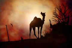 Camel silhouette in Pushkar. Silhouette of a camel chewing during the annual camel trade festival, Pushkar, India Stock Photo