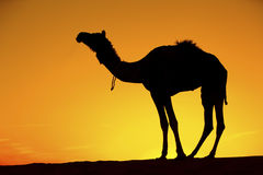 Camel silhouette on sand dunes. royalty free stock image