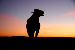 Camel silhouette at sunrise in the sahara. Morocco royalty free stock photo