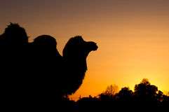 Camel silhouette sunset Stock Image