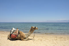 Camel on Sinai beach, Egypt. Stock Photography