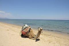 Camel on Sinai beach, Egypt. Stock Photography