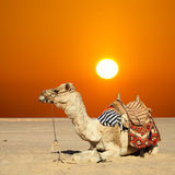 Camel sits Royalty Free Stock Photo