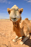 Camel sittiing in the desert Stock Image