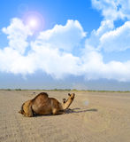Camel Sitting with cloudy sky Stock Photography