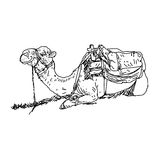 Camel sitting down with covered shoulders linework.  Royalty Free Stock Photo